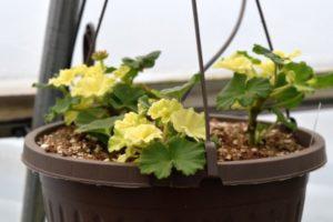 Bleached Zonal Geraniums
