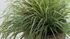 Crop Culture Tips for Calamagrostis Hello Spring!™