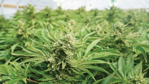 2018 Election Season: Cannabis Legalization Update