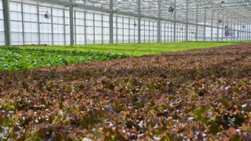 Hydroponic and Aquaponics Growers Face Possible Loss of Organic Certification