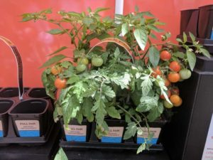 Takii's New Breeding Efforts; Sakata Seed America Turns 40; Westhoff Discovers New Constellation; Gediflora Adds Chocolates