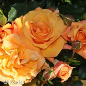 Newflora Kordes Roses