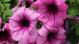 41 New Vegetative Petunias From California Spring Trials 2017: Northern Sites