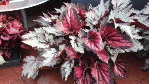 Rex Begonia container mix at Green Fuse Botanicals
