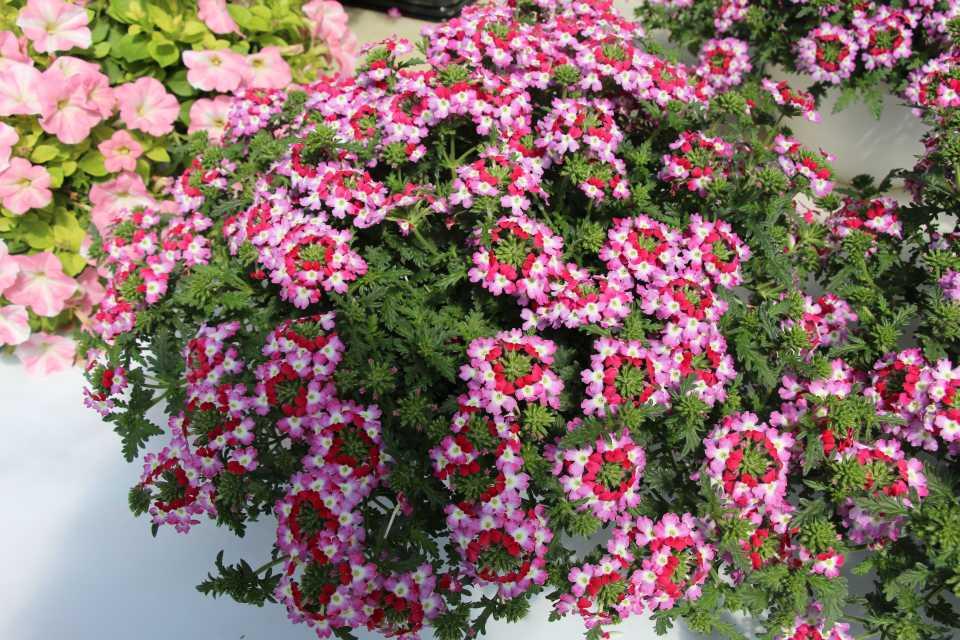 California Spring Trials Day Four: New Plant Intros from Dümmen Orange, Terra Nova Nurseries, Kientzler, and More