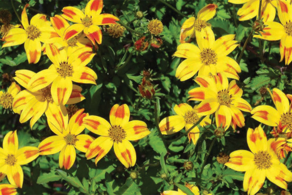 BeeDance Bidens Red Stripe (Suntory Flowers)