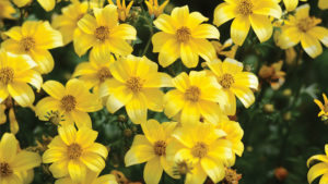 Recommendations for Successfully Growing BeeDance Bidens