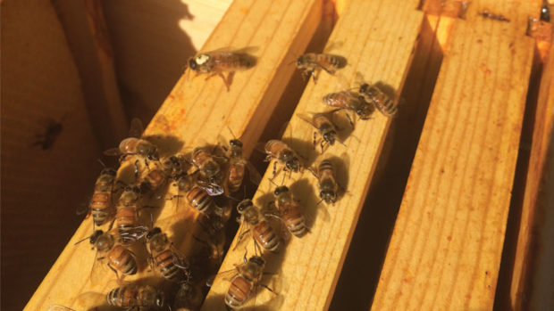 Bees at Bell Nursery - feature
