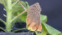 Botrytis Blight Geranium