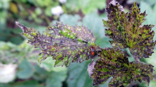 Four-Lined Plant Bug Emerges as Troublesome Pest in Pennsylvania