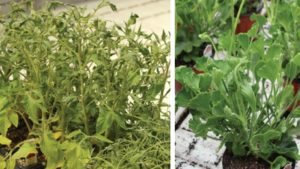 How to Identify and Mitigate Herbicide Contamination in the Greenhouse