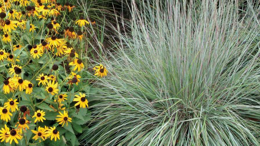 How ornamental grasses and sedges can play a role in for Variegated ornamental grass varieties
