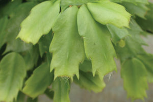 How to Increase Branching and Flower Bud Production of