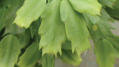 How to Increase Branching and Flower Bud Production of Christmas Cactus