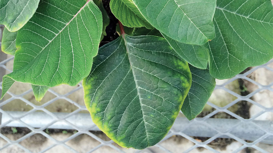 Magnesium deficiency on poinsettia