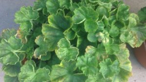Are Your Geraniums Showing Signs of Iron or Manganese Toxicity? It May Be Due to Low pH Levels