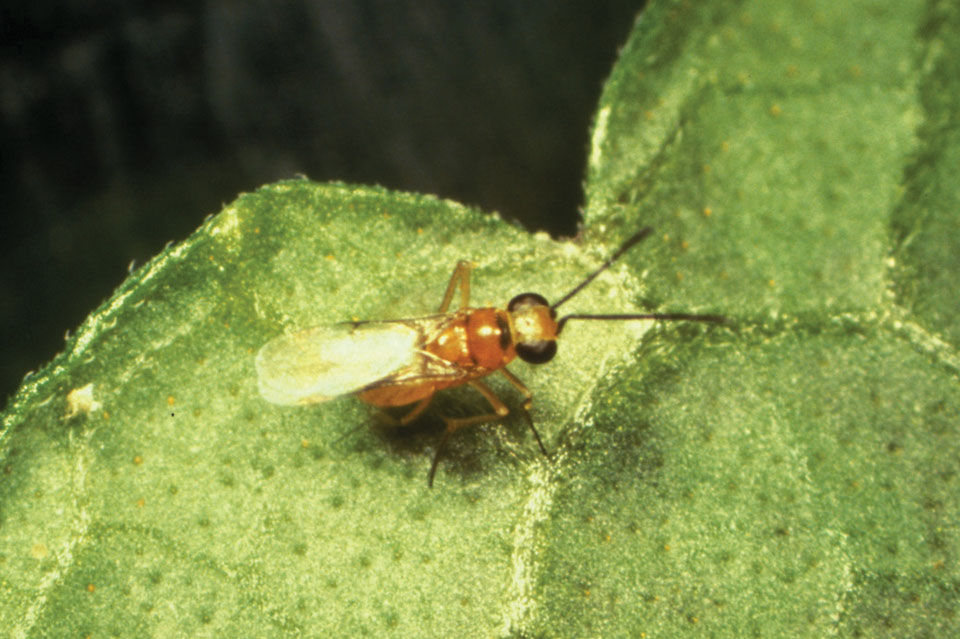 Why Biological Control Fails: Encapsulation May be the Culprit