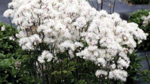 Thalictrum Nimbus White (Terra Nova Nurseries)