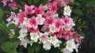 Weigela Czechmark (Spring Meadow Nursery)