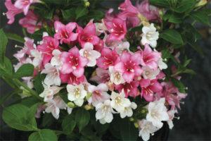 Weigela Czechmark (Spring Meadow Nursery)