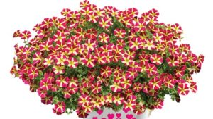 Sharing the Love: The Petunia AMORE™ Series