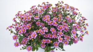 Bidens TIMELESS™ Pretty in Pink