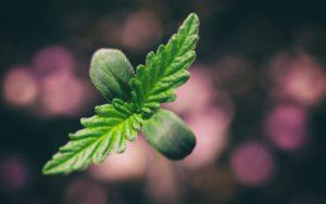 Cannabis Grower Mistakes