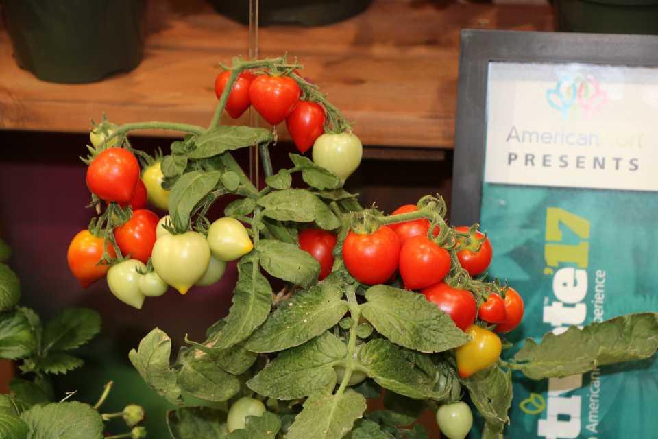 New Tomato 'Heartbreaker' - Dora F1 (Fred C. Gloeckner & Co. Inc.)