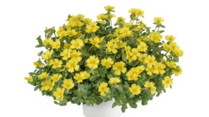 Easy Maintenance and Controlled Growth Hallmarks of Portulaca PAZZAZ™ Nano