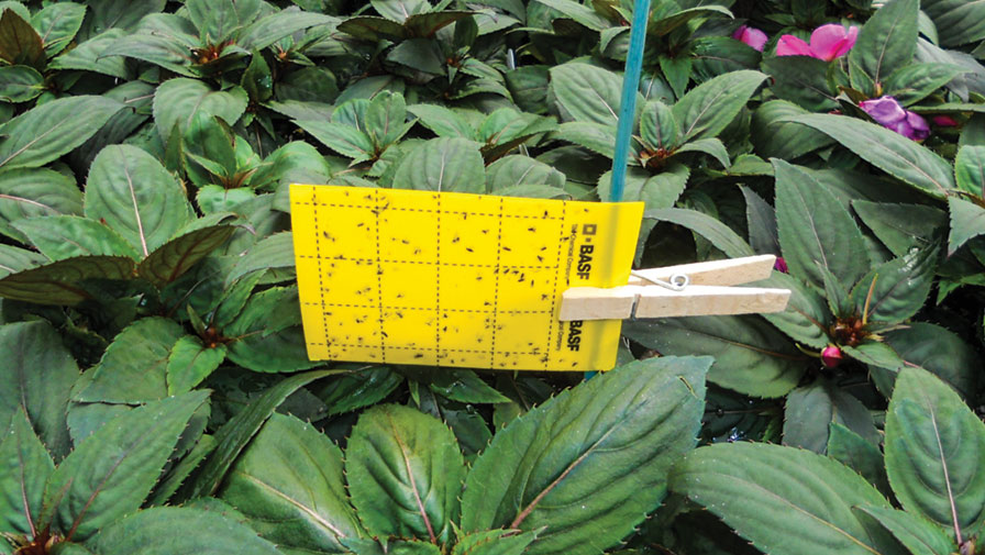 Tips From a Top 100 Grower for Effective Thrips Control