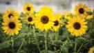 Helianthus Sunfinity (Syngenta Flowers)