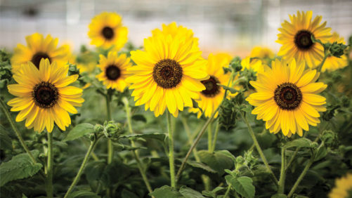Growing Tips for  Helianthus Sunflower 'Sunfinity'
