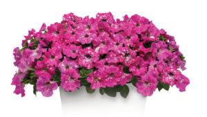 """Petunia 'Headliner Pink Sky"""" (Selecta)"""