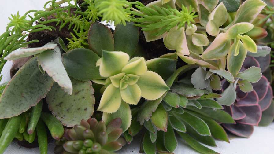 Ball Seed to Partner With Tagawa Greenhouses on New Succulent ...