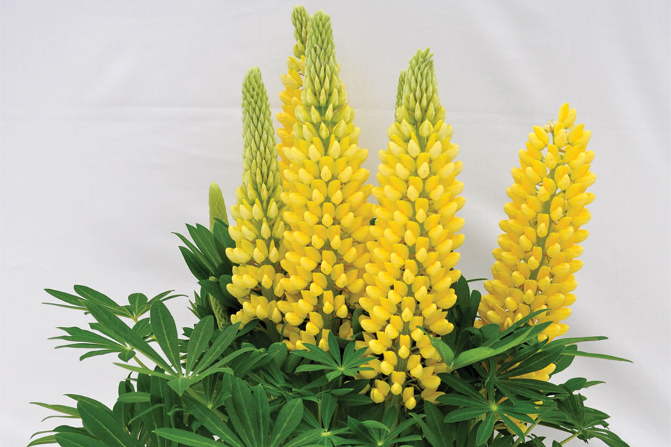 Green Fuse Lupine Staircase Yellow