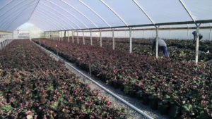 Helleborus Bloom at Pacific Plug and Liner feature