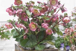 Helleborus Pennys Pink (Pacific Plug and Liner)