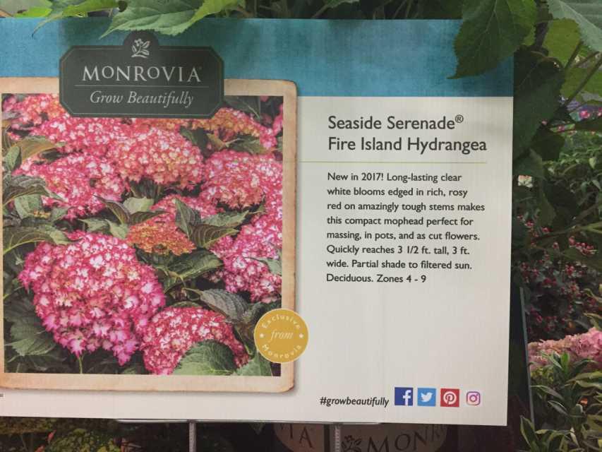 Hydrangea mac. Fire Island (Monrovia Nursery)