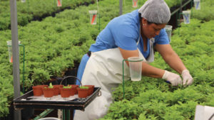 Worker taking cuttings at Vivero Internacional.