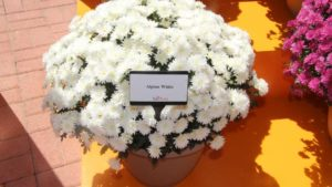 Ball Seed Moving Garden Mums Production From California to Florida