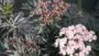 Strait-Laced Elderberry