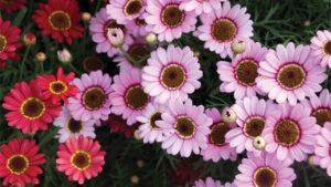 Suntory Grandessa argyranthemum - feature