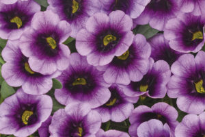 Calibrachoa Superbells Blue Moon Punch (Proven Winners)