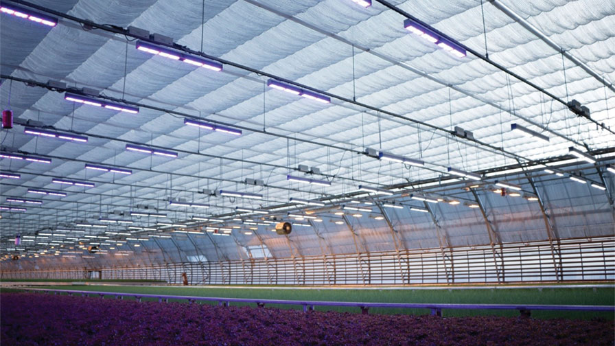 Fluence Bioengineering red lettuce trials - feature blue lighting
