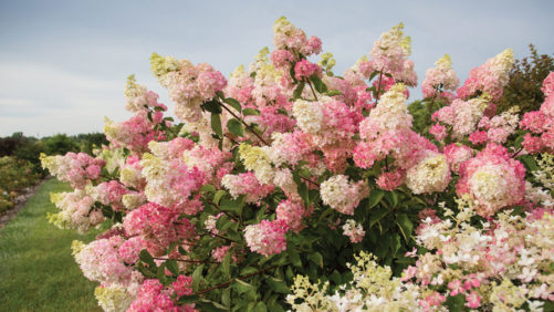Woody Ornamentals Market Set for Growth
