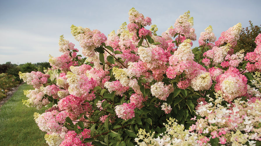 Hydrangea Berry White Bailey Nurseries