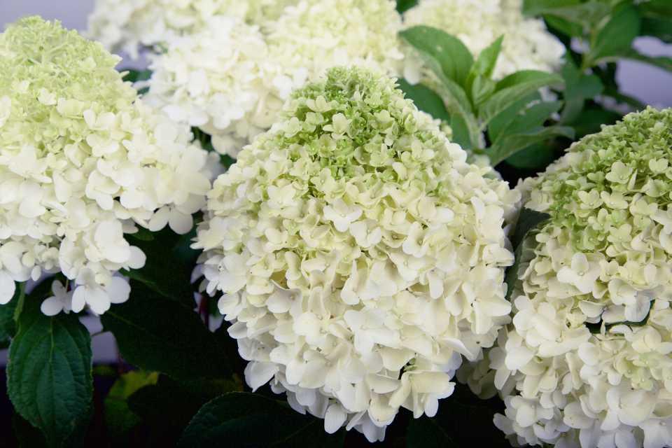 Hydrangea White Wedding