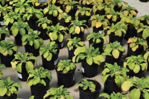 Nitrogen Deficiency on Foxglove