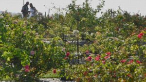 Researchers Study Rose Varieties