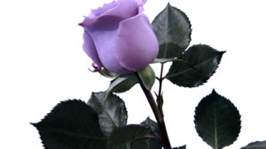 Suntory's Blue Rose 'Applause' Now Available to U.S. Florists